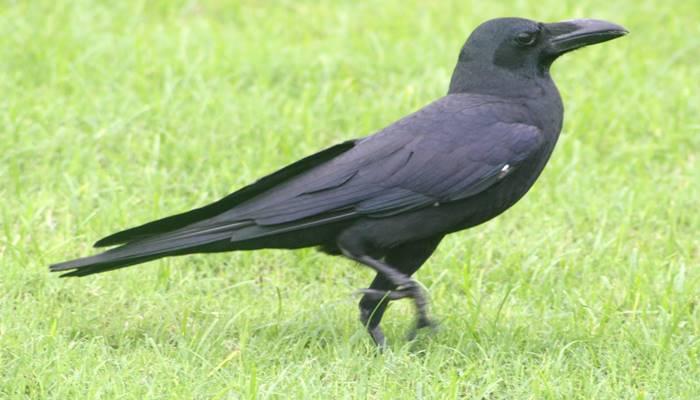 A simbologia do corvo